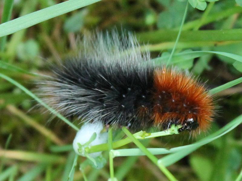 black and orange caterpillar - not the woolly bear