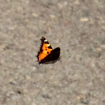 California Tortoiseshell in flight