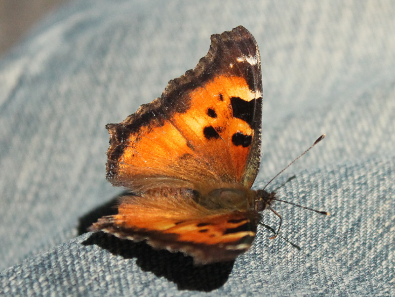 California Tortoiseshell on my pants