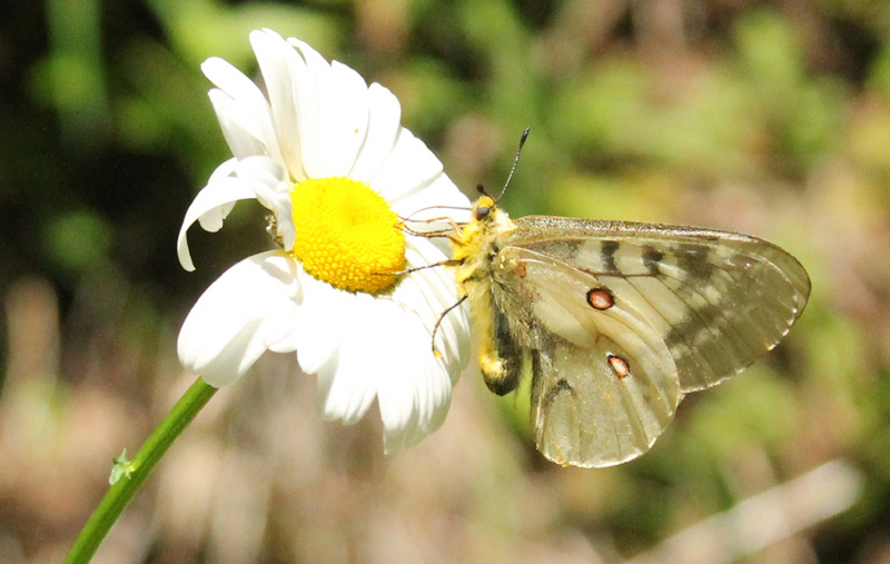 Clodius Parnassian on Oxeye Daisy