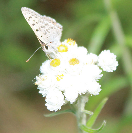 Edith's Copper on Pearly Everlasting ventral view