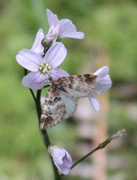 Enchoria lacteata Moth on milkmaids