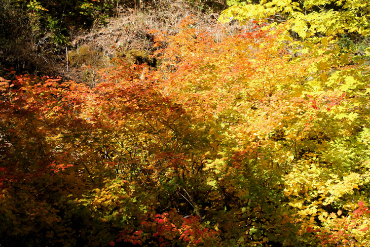 Autumn color with maples