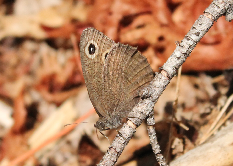 Great Basin Wood Nymph near orange leaves