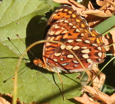 Hydaspe Fritillary ventral view