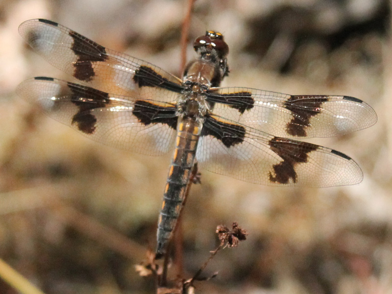 8-spotted skimmer in the sun