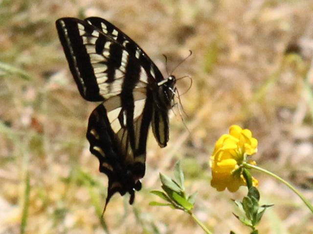 Pale Swallowtail landing