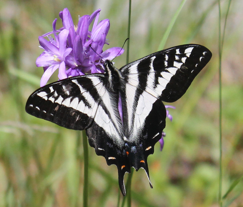 Pale Swallowtail on snakelily