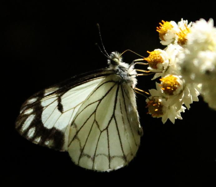 pine white on pearly everlasting