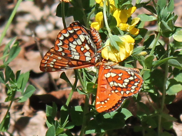 dual dueling checkerspots look like a bowtie