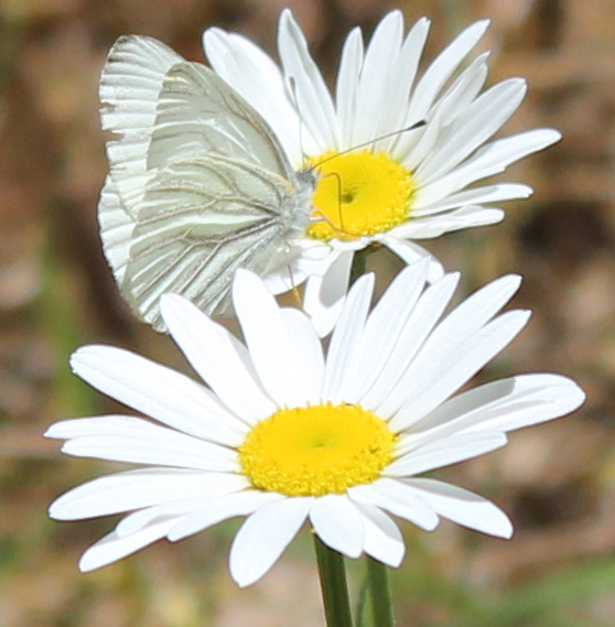 white butterfly oxeye daisy