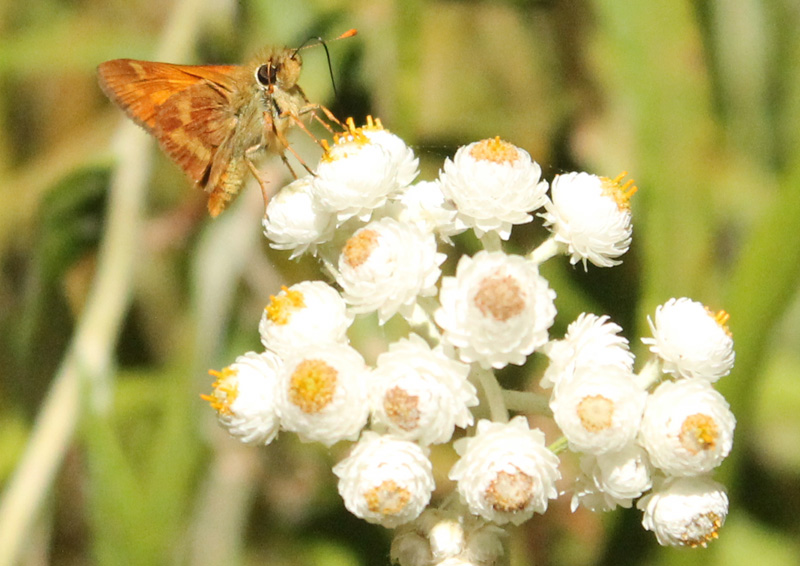Woodland skipper on Pearly Everlasting